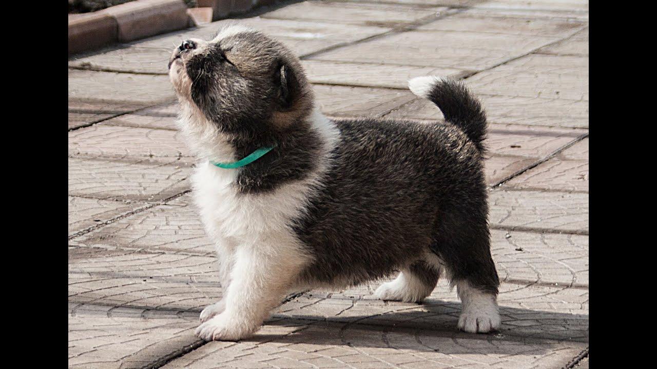 В продаже щенки породы акита ину, приемлемые цены. Акита ину отличаются хорошим крепким телосложением с широким мускулистым туловищем. Доска объявлений с предложением акита ину zverivdom. Com.