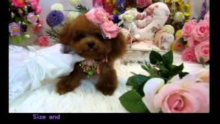 Super Tiny Teacup Poodle - Katharine