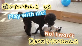 Dog want to play with kitten but kitten is not... | 遊びたい犬と気がのらない猫