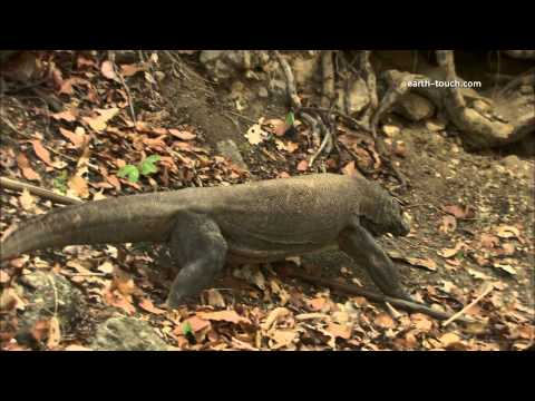Living With Komodo Dragons | Chasing The Dragon Ep3