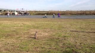 12月2日(日)に大凧で行われた家庭犬訓練競技会。 イタリアングレーハ...