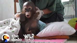 Watch This Rescue Baby Orangutan Exploring The World For The First Time | The Dodo Wild Hearts