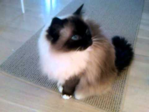 Gigi- The Talking Ragdoll Cat