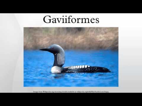 Gaviiformes