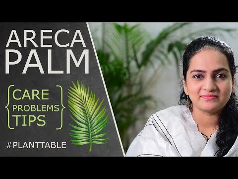 Areca Palm (Dypsis Lutescens) - Care, Info & Problems | House Plants | Plant Table