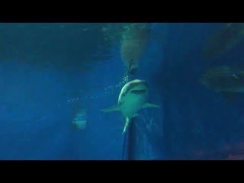 Okinawa Churaumi Aquarium Great White Shark in Captivity