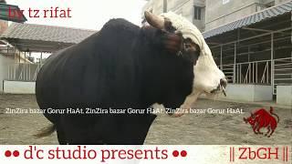 093   Exclusive   Aussie Bull Play Time   Sadeeq Brahma Ranch   ZbGH 2019
