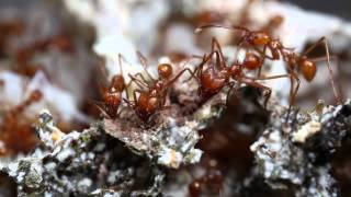 Atta cephalotes cleaning fungus garden