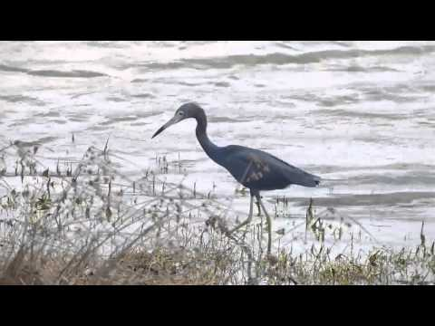 Garza Azul (Egretta caerulea) - Blue Heron