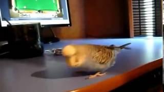 Попугай, который любит танцевать под Индийскую музыку(, 2013-01-23T08:01:20.000Z)