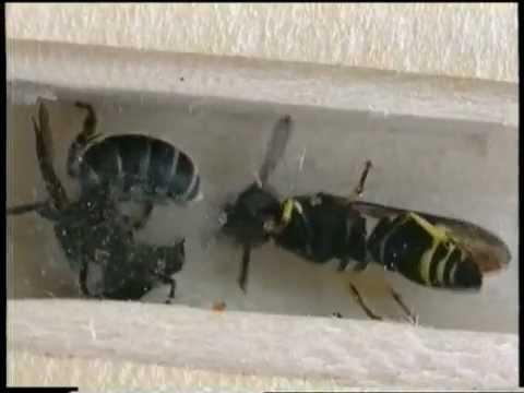 abeille et de gu�pe gonflement de la langue langue gonflée