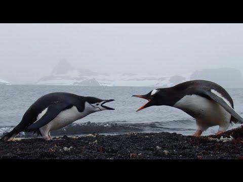 Chinstrap & Gentoo Penguins in Antarctica