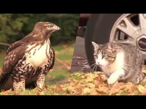 Кошка VS Ястреб (Последний джедай)