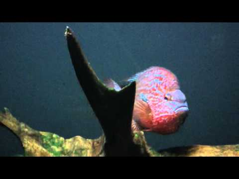 Longear Sunfish - Lepomis Megalotis - Conservation Syndicate.MP4