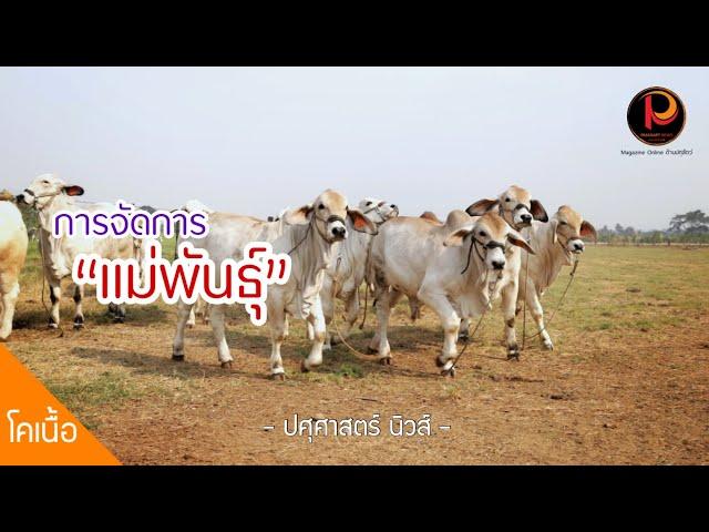 """(Official Trailer) การจัดการแม่วัวเนื้อ สู่เป้าหมาย """"ลูกวัว 1 ตัว ต่อแม่ ต่อปี"""