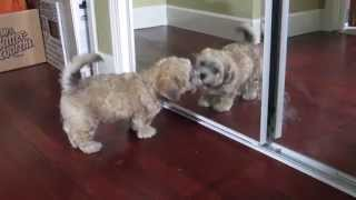 Shih Tzu / Bichon Mix Licking A Mirror