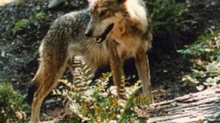 When Wolves Get Angry