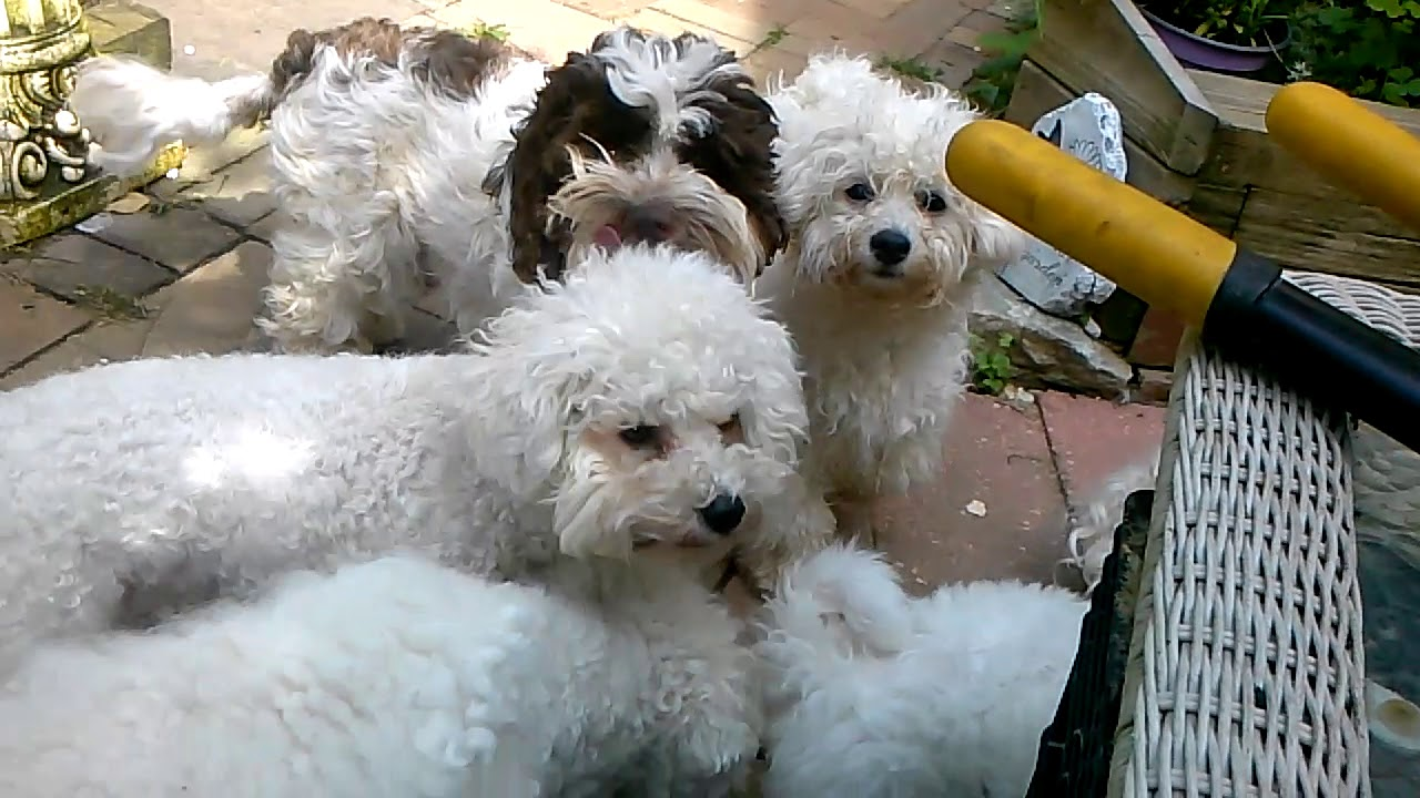Sugar Moon Bichon Frises - Puppies For Sale