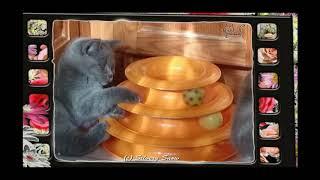игры с пирамидкой. веселые британские котята.
