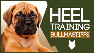 BULLMASTIFF TRAINING TIPS! How To Train Your Bullmastiff Puppy To Walk to Heel!