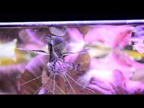 Pantodon Buchholzi African Butterflyfish Feeding Motylowiec