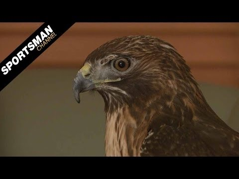 Falconry: Hunting Squirrels With Red-Tailed Hawks Part 2