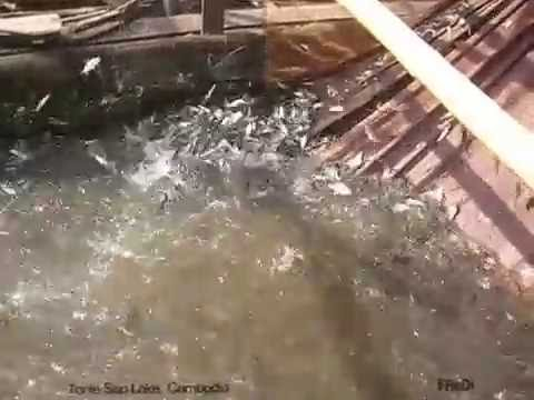 Fishing | Fishing Fish | Fish Catch in Tonle Sap Lake Cambodia
