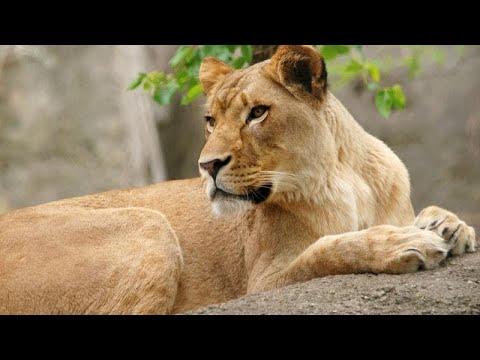 لبؤة تقتل أبا أشبالها الثلاثة في حديقة حيوان أمريكية  - نشر قبل 43 دقيقة