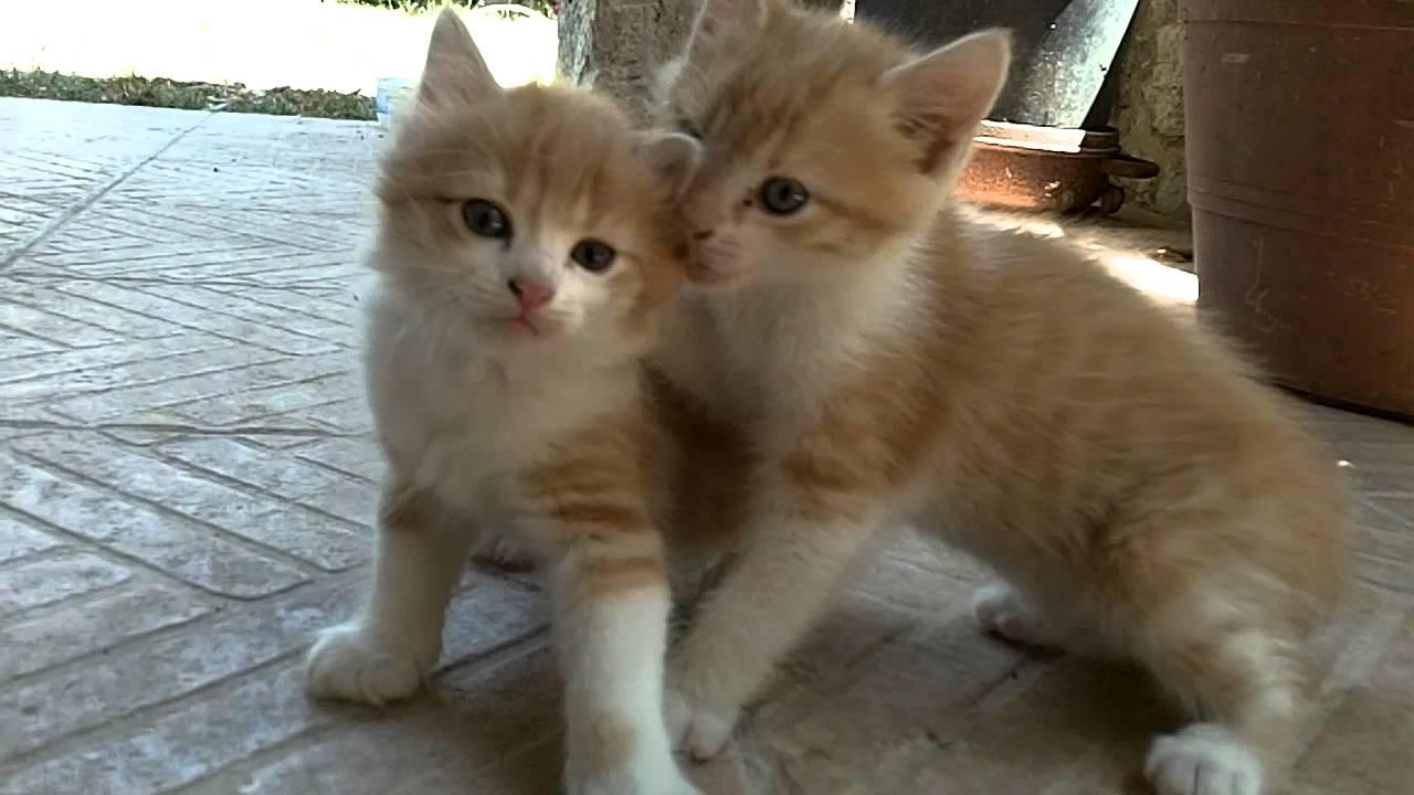 Deux chatons roux trop mignons qui jouent ensemble mdrrr youtube - Photo chaton trop mignon ...