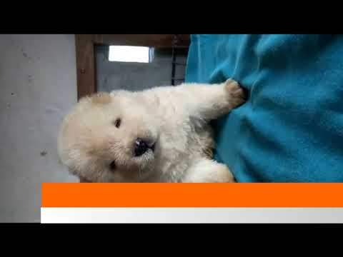 Chow chow Puppy Sale in Dogshub India 9950330009