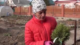 """Поздняя посадка хвойных растений  Посадка на глине.Сайт """"Садовый мир"""""""