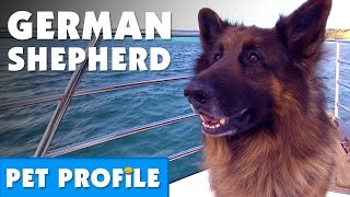 German Shepherd Pet Profile | Bondi Vet