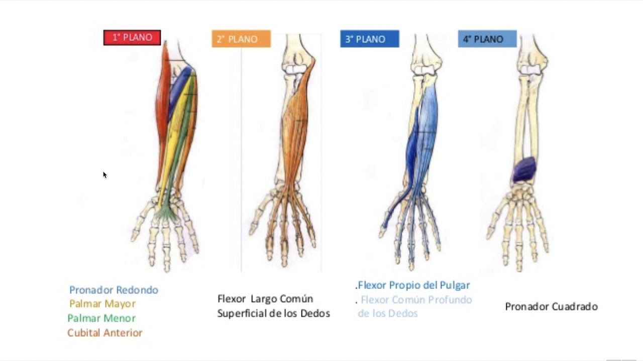 Músculos Antebrazo Youtube