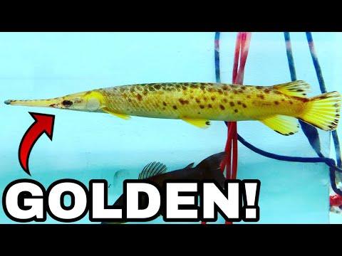 RARE $10,000 GOLDEN GARFISH CAUGHT IN THE WILD!