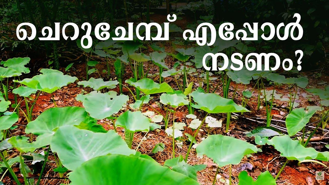 ചെറുചേമ്പു വിത്ത് ആറുമാസം ഉപയോഗിക്കാം | Colocasia farming