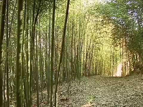 Veracruz agropecuario cultivo y producci n de bamb doovi - Cultivo del bambu ...