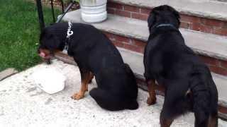 Rottweilers Breeding
