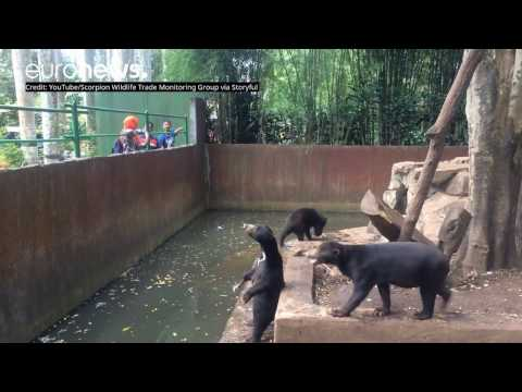 Animal activists release footage of Bandung Zoo bears begging for food