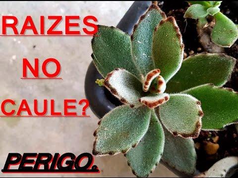 PERIGO EM SUCULENTAS E IDENTIFICANDO SUCULENTA (KALANCHOE TOMENTOSA) CUIDADO COM RAIZES NO CAULE