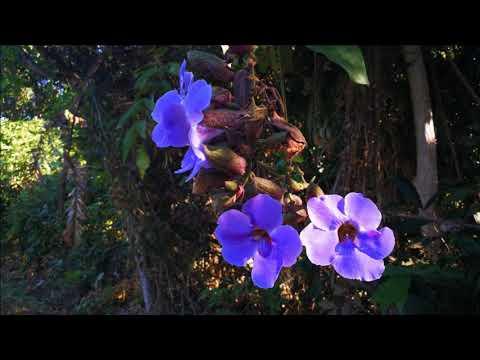 รางจืด,Medical plant,Blue trumpet vine.พืชแก้ยาพิษ,เมาค้าง,ถอนพิษ