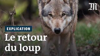 Comment le loup a fait son retour en France