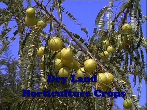 Dry Land Horticulture Crops
