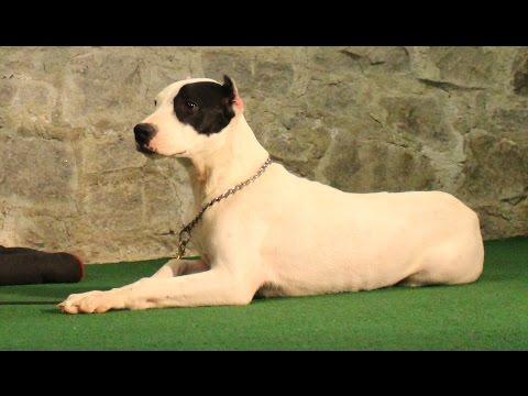 Dogo Argentino 'Masa Musa' puppy training