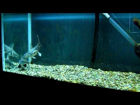 Feeding Columbian Shark Catfish