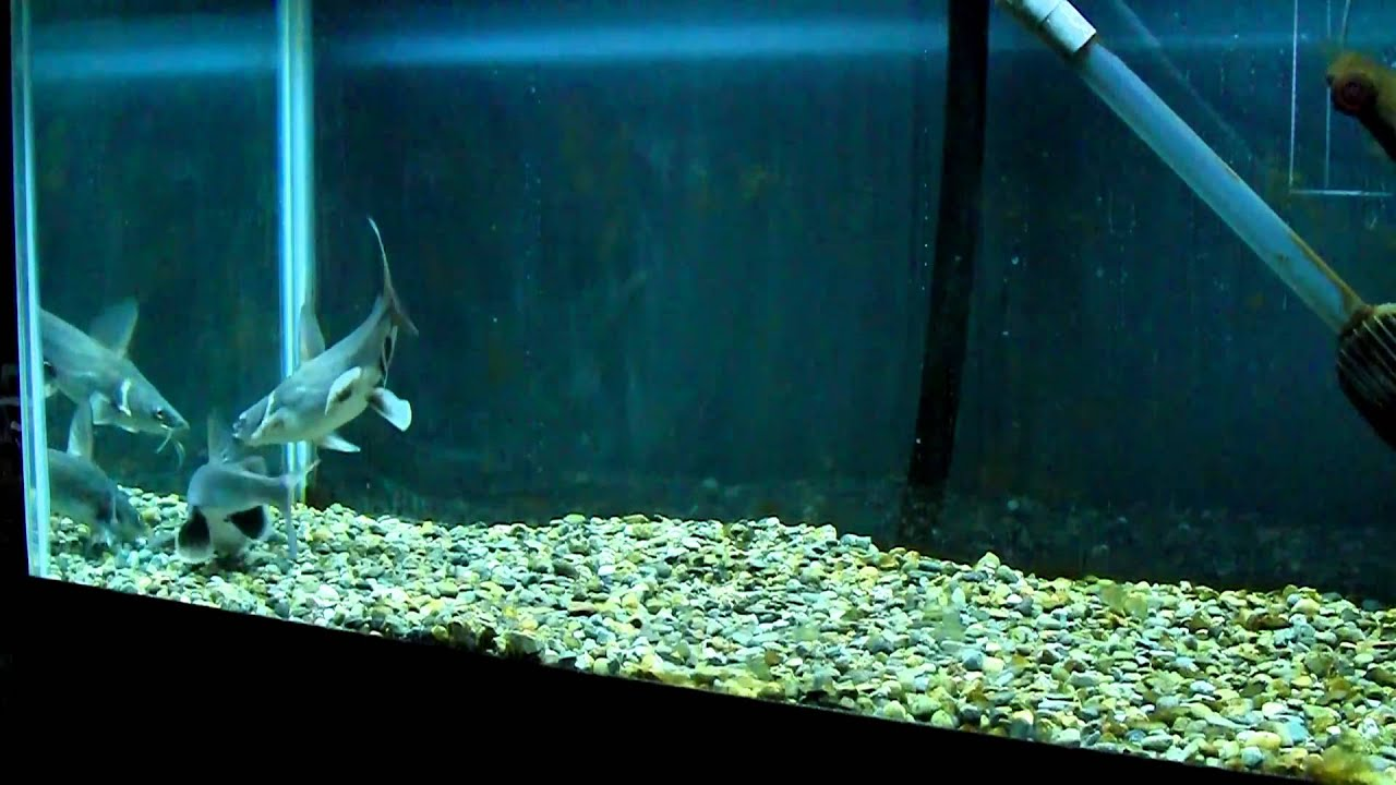 Freshwater aquarium fish silver with red fins - Freshwater Aquarium Fish Silver With Red Fins