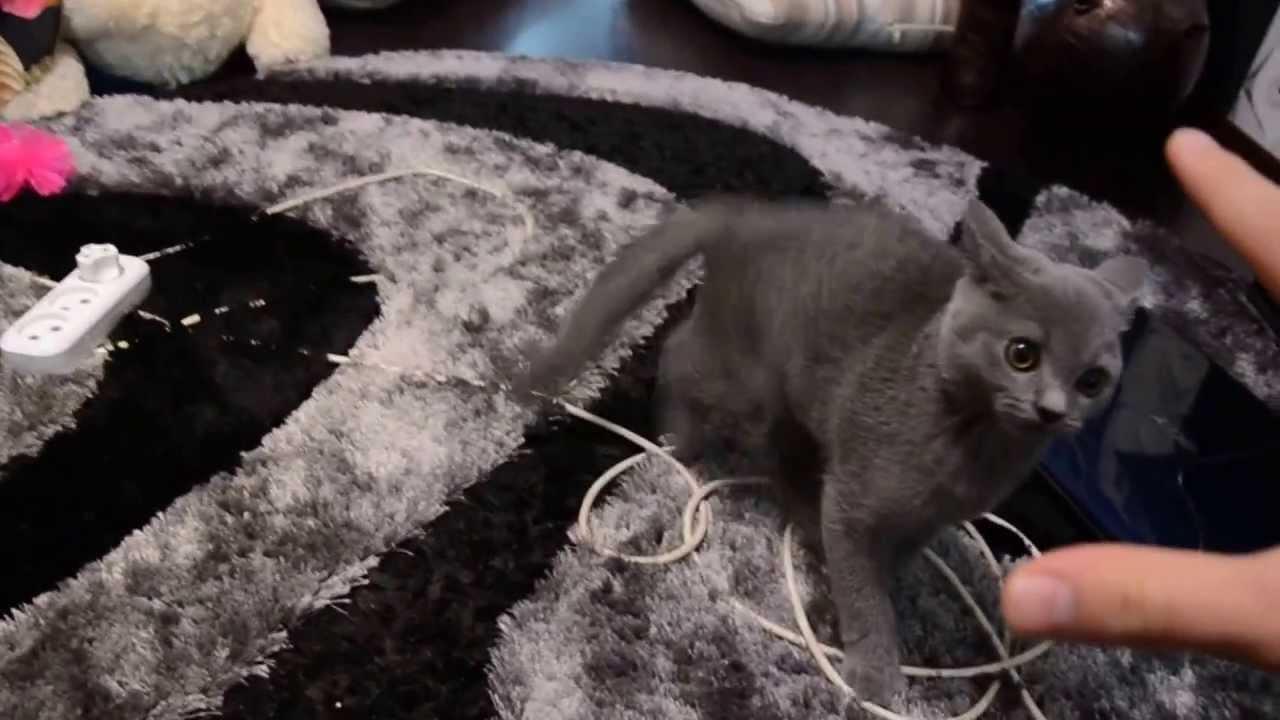 Агрессивный британский кот