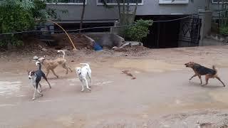 Street dogs fight