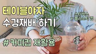 테이블야자 수경재배 하는법 - 스타벅스 커피컵 재활용