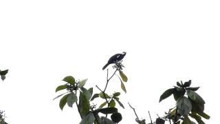 Black Solitaire Entomodestes coracinus by Charlie Vogt 00101.MTS