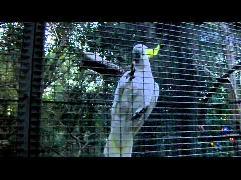 Mówiąca papuga (talking parrot)